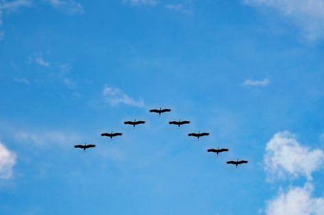 leading bird